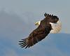 Bald Eagle Swooping03