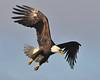 Bald Eagle Swooping17