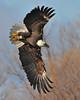 Bald Eagle Swooping08