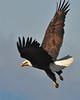 Bald Eagle Swooping04