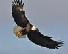 Bald Eagle Swooping18