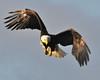 Bald Eagle Swooping20
