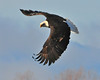 Bald Eagle Swooping19