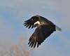 Bald Eagle Swooping05