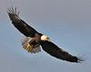 Bald Eagle Swooping16
