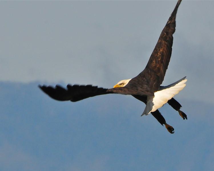 Bald Eagle Swooping01
