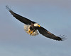 Bald Eagle Swooping14