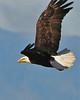 Bald Eagle Swooping11