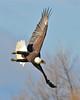 Bald Eagle Swooping07