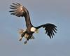 Bald Eagle Swooping15