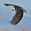 Bald Eagle Swooping19