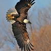 Bald Eagle 07