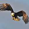 Bald Eagle Swooping20