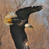 Bald Eagle Swooping10