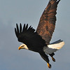 Bald Eagle Swooping04
