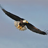 Bald Eagle Swooping14