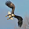 Bald Eagle 05