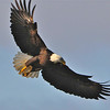 Bald Eagle Swooping18