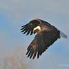 Bald Eagle 04