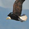 Bald Eagle 09