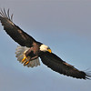 Bald Eagle Swooping16