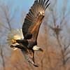 Bald Eagle 08