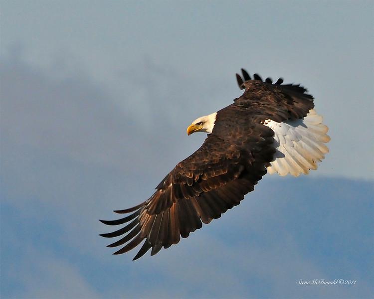 Bald Eagle 03