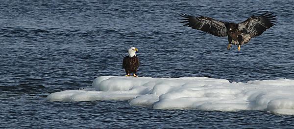 An Adult Bird Observing a Youngster Landing