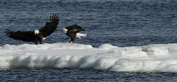 """""""Flap your wings stupid, you're an eagle!"""""""