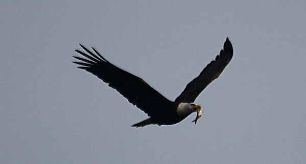 Mature bald eagles can eat a pound of fish in about four minutes