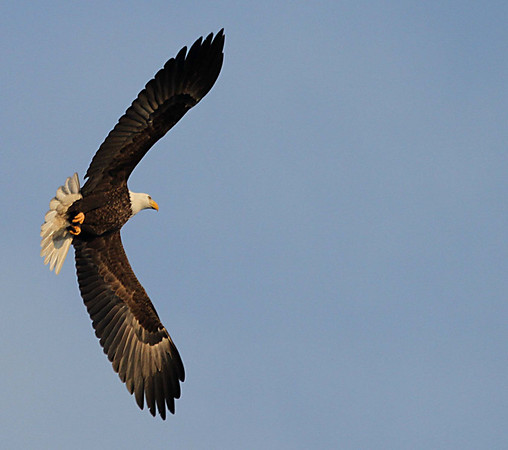 Eagles can fly 35 miles/hour and up to 10,000 feet high