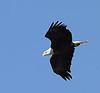 """Haliaeetus Leucocephalus""  - American Bald Eagle"