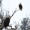 Very majestic bird that sits up on the branches gazing down at the water waiting for the Kokanee.