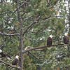 Rare sight to see 4 Bald Eagles this close together.