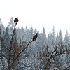 Two mature Bald Eagles with a immature between them.