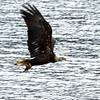 Bald Eagle snatching up a Kokanee salmon.