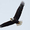 Beauty of a soaring bird.