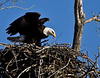 Friday, April 9, 9:12am:  After landing, the bird inspects the kill in the nest and rests.