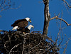 Friday, April 9, 9:33am:  Both eagles share the nest for a period.  As big as the nest is, it does not seem large enough for both birds.