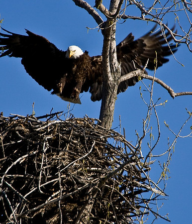 Friday, April 9, 9:11:  After the first eagle deposits the kill in the nest and leaves, this one approaches and lands.