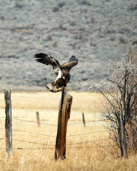 Bald Eagles, Hawks, Falcons etc of Nevada