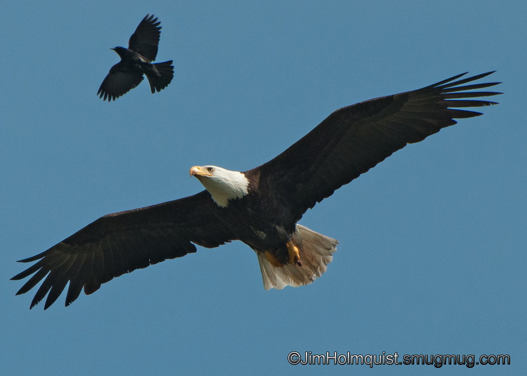 American Bald Eagle - Being harrassed by a Red-Winged Blackbird near Olympia, Wa