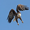 Bald Eagle<br /> Boulder County,Colorado