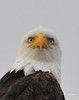 Bald Eagle 068