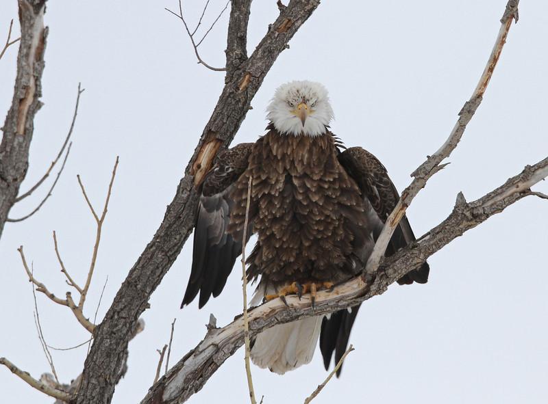 Bald Eagle<br /> <br /> Union Reservoir.Longmont Colorado