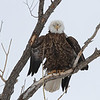 Bald Eagle<br /> <br /> Union Reservoir.Longmont Colorado