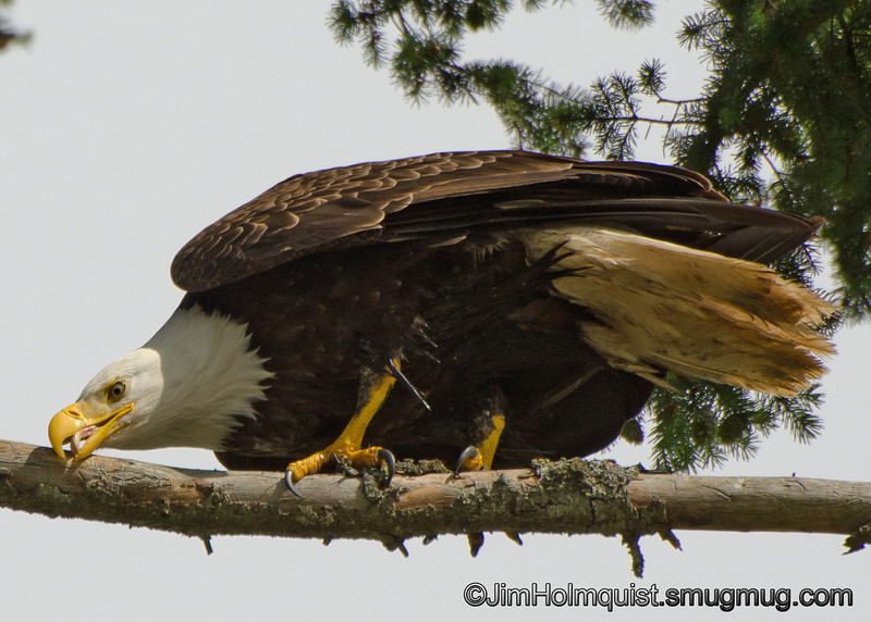 American Bald Eagle - cleaning bill near Olympia, Wa