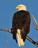 Am. Bald Eagle_7304.JPG