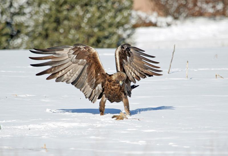 Golden Eagle.<br /> Boulder County,Colorado