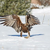 Golden Eagle.<br /> Boulder County,Colorado
